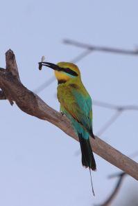 2014-01-13 Image 2 - K2W Landholder Grants 2014 - Rainbow Bee-eater