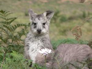 Juvenile Woollaroo