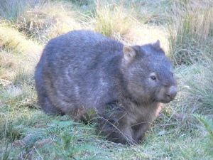 Wombat on Wildlife Land trust property