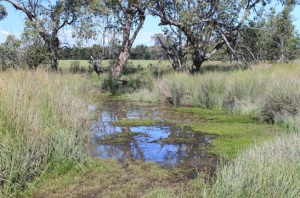 Great habitat for Southern Pygmy Perch.  Great for people and stock too.  Naturally resistant to evaporation and pollution.