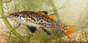 The Southern Pygmy Perch has suffered from habitat loss and the spread of predators, particularly Carp, Gambusia and Redfin to the extent that we now have to create special safe refuges to ensure its survival. All photos courtesy Luke Pearce