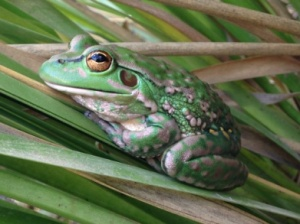 Fungal disease, habitat degradation and foxes have contributed to the lovely Yellow-spotted Bell Frog almost being lost to us forever.  But there are glimmers of hope for a brighter future